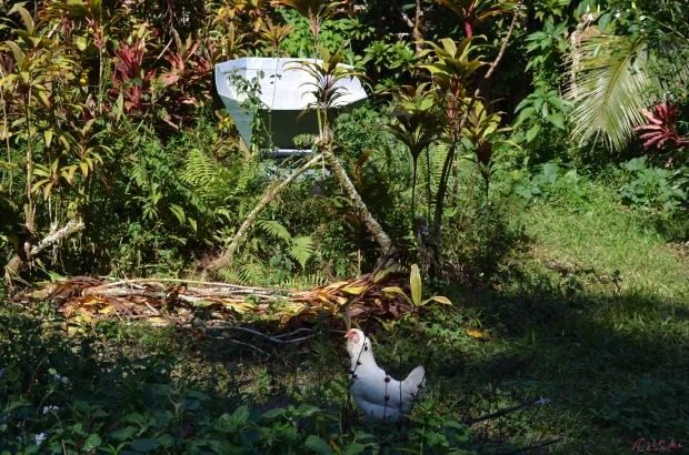 CC agroforestry chicken