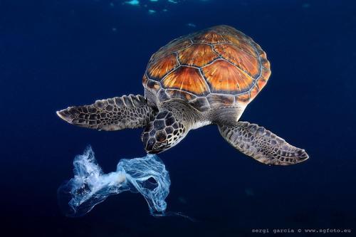 1415967874-turtle-eating-bag